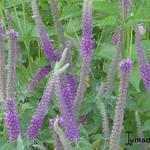 Teucrium hyrcanicum 'Purple Tails' - Teucrium hyrcanicum 'Purple Tails' - Gamander, Valse salie