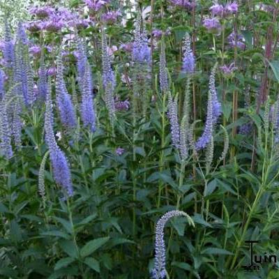 Veronica longifolia -