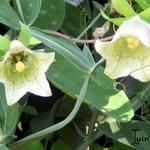 Codonopsis pilosula - Codonopsis pilosula - Windeklokje