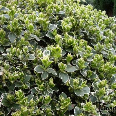 Euonymus fortunei  -