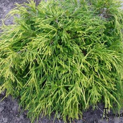 Chamaecyparis pisifera 'Golden Mop' -