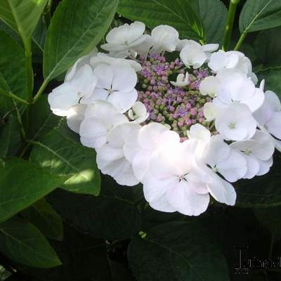 Hydrangea macrophylla 'Teller White' -
