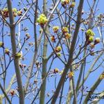 Acer platanoides  'Faassen's Black' - Acer platanoides  'Faassen's Black' - Esdoorn