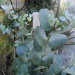 Eucalyptus gunnii - Koortsboom, Gomboom - Eucalyptus gunnii