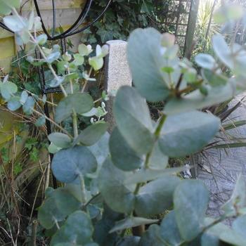 Koortsboom gomboom eucalyptus gunnii planten online kopen tuinadvies - Eucalyptus gunnii en pot ...
