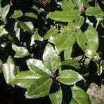 Elaeagnus x ebbingei - Olijfwilg - Elaeagnus x ebbingei
