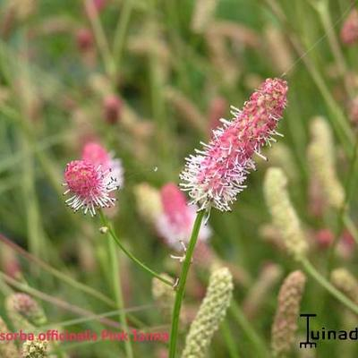 Sanguisorba officinalis ' Pink Tanna' - Pimpernel