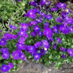 Aubrieta gracilis 'Kitte' - Aubrieta gracilis 'Kitte' - Randjesbloem