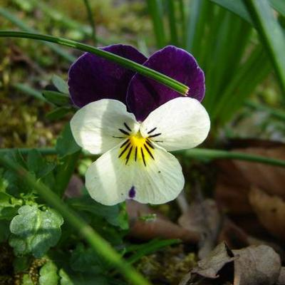 Viola tricolor -