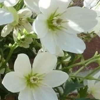Clematis x cartmanii 'Joe'
