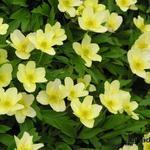 Anemone x Lipsiensis - Anemone x Lipsiensis - Bosanemoon