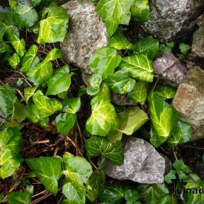 Hedera helix 'Gold Heart' -