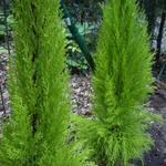 Cupressus macrocarpa 'Goldcrest' - Cupressus macrocarpa 'Goldcrest' - Cipres, kamerconifeer