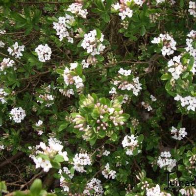Daphne x burkwoodii 'Somerset' -