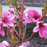 Prunus persica var nucipersica  - Prunus persica var nucipersica  - Nectarineboom