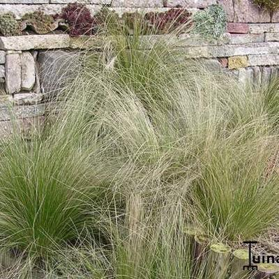 Stipa tenuifolia - Vedergras - Stipa tenuifolia