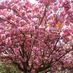 Prunus serrulata -