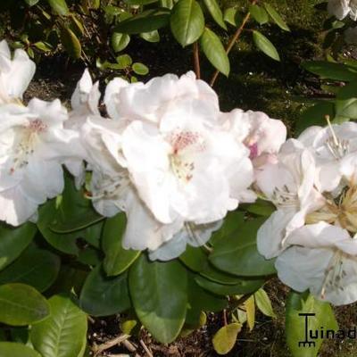Rhododendron  'Gartendirektor Rieger' -