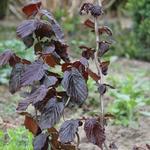 Corylus avellana 'Red Majestic' - Rode Krulhazelaar, Rode kronkelhazelaar - Corylus avellana 'Red Majestic'