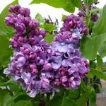 Syringa vulgaris 'Charles Joly' - Sering - Syringa vulgaris 'Charles Joly'
