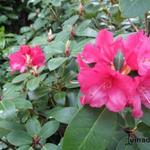 Rhododendron 'Anna Rose Whitney' - Rododendron