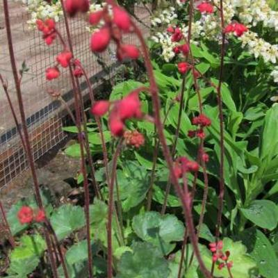 Heuchera sanguinea 'Ruby Bells' -