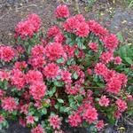 Rhododendron  'Hino-crimson' - Rhododendron  'Hino-crimson' - Azalea
