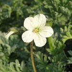 Erodium chrysanthum - Erodium chrysanthum - Reigersbek