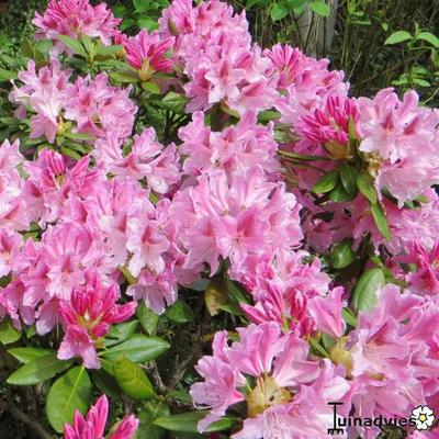 Rhododendron 'Cosmopolitan - Rododendron - Rhododendron 'Cosmopolitan