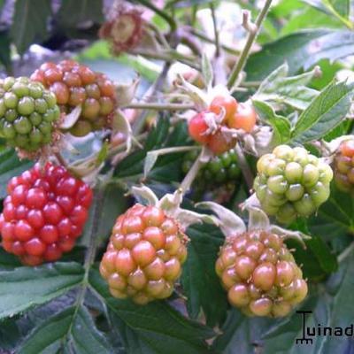 Rubus fruticosus 'Thornless Evergreen' -