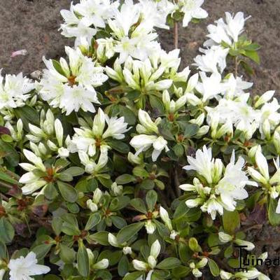 Rhododendron kiusianum 'Fago No Fugi' -