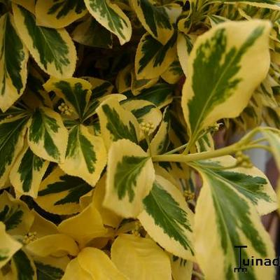 Euonymus fortunei 'Emerald'n Gold' -