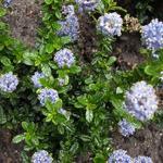 Ceanothus repens 'Blue Mound' - Ceanothus repens 'Blue Mound' - Amerikaanse sering