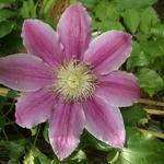 Clematis 'Dr. Ruppel' - Bosrank