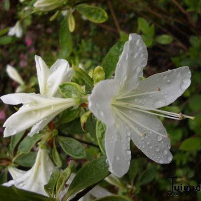 Rhododendron  'Palestrina' -
