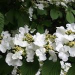 Viburnum opulus - Gelderse roos - Viburnum opulus