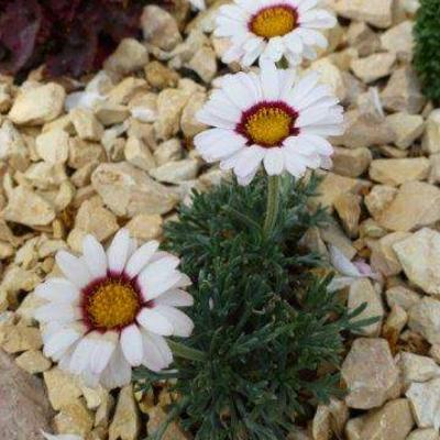 Chrysanthemum marwesii -