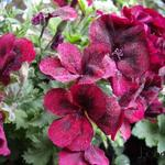 Pelargonium 'Bright Red' - Geranium