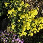 Aurinia saxatilis - Schildzaad, Rotsschildzaad - Aurinia saxatilis