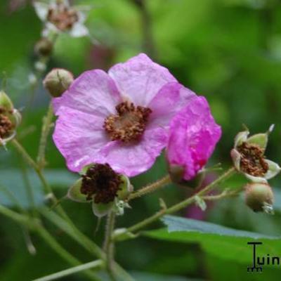 Rubus odoratus -