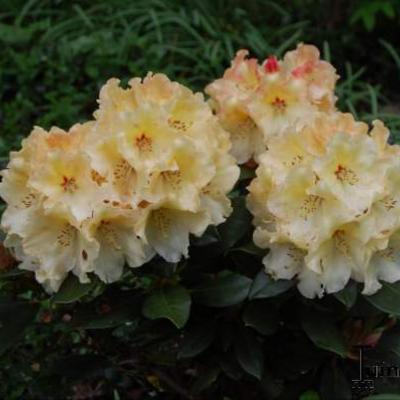 Rhododendron 'Horizon Monarch' - Rododendron - Rhododendron 'Horizon Monarch'