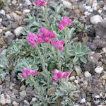Antennaria dioica 'Rotes Wunder' - Rozenkransje