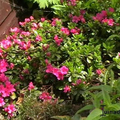 Rhododendron 'Multiflorum' purper -