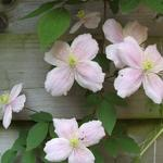 Clematis montana 'Fragrant Spring' - Bosrank