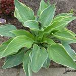 Hosta 'Poker' - Hartlelie/Funkia