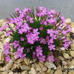 Dianthus microlepis - Anjer