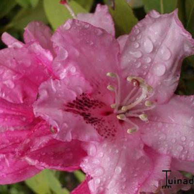 Rhododendron 'Albert Schweitzer' - Rododendron - Rhododendron 'Albert Schweitzer'