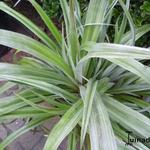 Astelia 'Silver Shadow' - Astelia 'Silver Shadow'