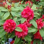 Rhododendron 'Wilgen´s Ruby' - Rododendron
