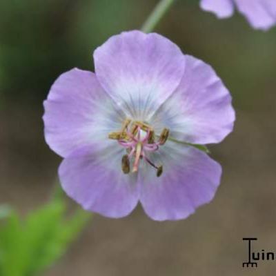 Geranium phaeum 'Walküre' -